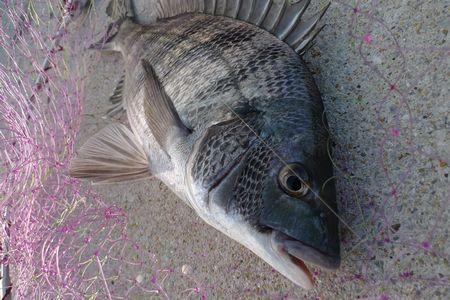 フカセ釣りでチヌ釣りました!