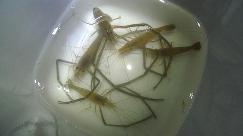 テナガエビ釣りにハマる!